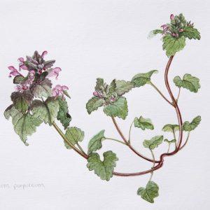 Lamium purpurium