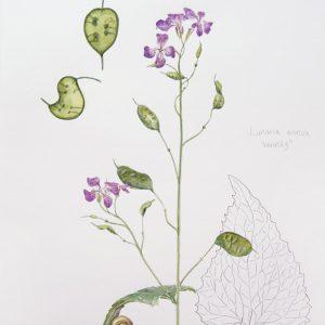 Lunnaria anua